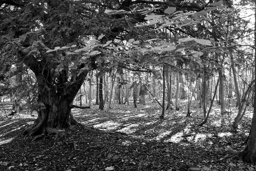 Leigh Tree