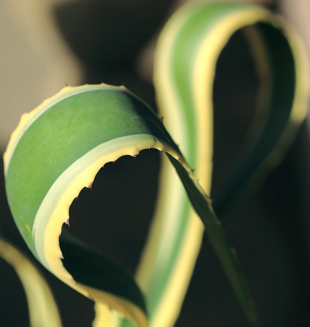 Agave Ribbon Loops
