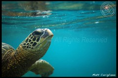 Hawaiian Sea Turtle (yogasurf) Tags: ocean beach nature water island hawaii oahu turtle ngc maui kauai honu yogasurf