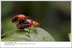 A Bugs Life... Starts Here ;) (Anoop Anand A) Tags: india macro canon bug 350d tammy kerala bugs 3a mounted canon350d mating tamron 90mm canoneos350d anoop kollam aaa tamron90mmf28macro insectindia thenmala anoopaa butterflyindiameet2007 shendurunywildlifesanctury shenduruny anoopananda anoopco wwwanoopco httpwwwanoopco