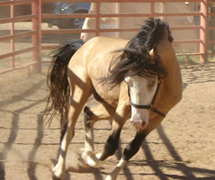 Valor (Hot 2 Trot) Tags: cheval pony welsh stallion buckskin valor poney hot2trot