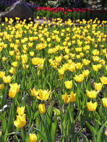 1948833808_黃色的鬱金香