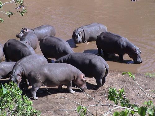 Mara More Hippos