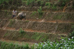 Farming the terraces (kgr_muc) Tags: people mountain animal rural landscape vietnam sapa waterbuffalo riceterrace