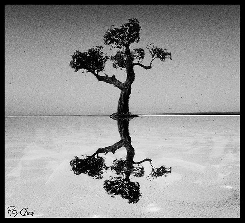The lone poplar in the midst of a salt lake