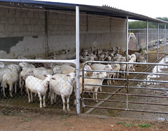 Katahdin ewes in confinement