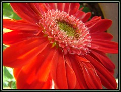 Gerbera Daisy (sallysue007) Tags: orange macro nature beautiful gerbera daisy capture soe heartfelt naturesfinest supershot masterphotos mywinners abigfave supershots shieldofexcellance superbmasterpiece diamondclassphotographer top20red ysplix yxplix thatsclassy unforgetablepictures