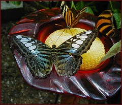Blue Clipper getting a drink - (Parthenos sylvia)