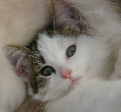 Kaylee looking right into the camera (Mandy Verburg) Tags: pet cat kitten kat feline pussy kitty ek 500 huisdier poes kaylee katachtige cyper thebiggestgroup cc300 cc200 cc100 kissablekat mandyarjan kittyschoice thebiggestgroupwithonlycats