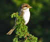 Red-backed shrike - Female