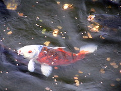Koi at hotel. (musicman67) Tags: vacation hawaii tropical hilohawaii cotcbestof2006 colourartawards putintocpa