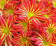 Chrysanthemum (CountyPix) Tags: uk pink red england plants flower nature yellow ilovenature vibrant limegreen mums chrysanthemum plantsflowers superaplus flickrhearts flowerwatching catchycolourred naturebest catchycolouryellow excellentflowers varicolour mygearandme mygearandmepremium mygearandmebronze mygearandmesilver mygearandmegold mygearandmeplatinum mygearandmediamond