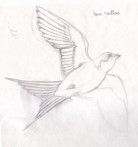 sketches of birds. barn swallow sketch