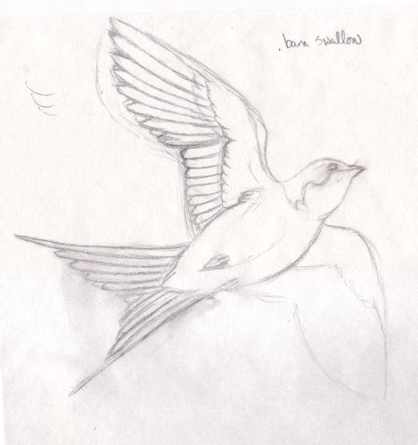 barn swallow sketch