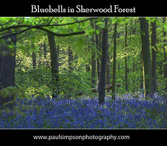 Bluebells (Paul Simpson Photography) Tags: uk flowers trees england tree nature bluebells forest woodland spring woods may sherwoodforest gb nottinghamshire springtime notts eastmidlands bluecarpet beautifulnature clumberpark bassetlaw may2010 carpetofblue paulsimpsonphotography