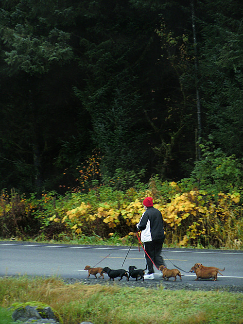 person walking pack of dachsunds, Klawock, Alaska
