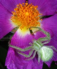 Heriaeus hirtus on Cistus - 2 (claudiodelfuoco) Tags: flowers plants italia spiders e poesia fiori piante colori bianco nero puglia gargano macrofotografia ragni apricena claudiodelfuoco