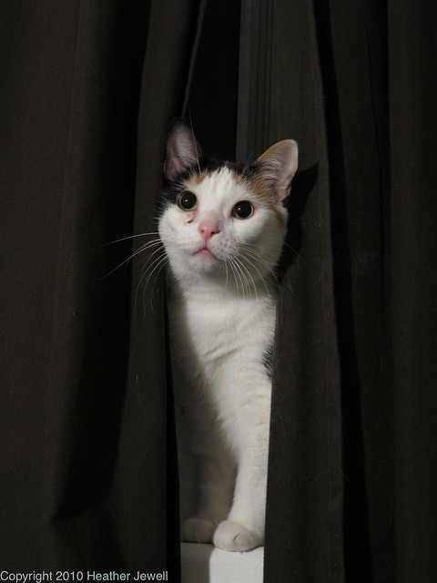 Creamsicle Show (Cat sticking her head out between curtains as if she was looking out from backstage)