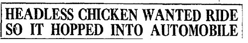 headless chicken headline