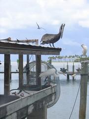 Pelikan i caplja