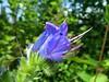 wildflower (elisabatiz) Tags: hungary pistil wildflower blueblueblue petaled