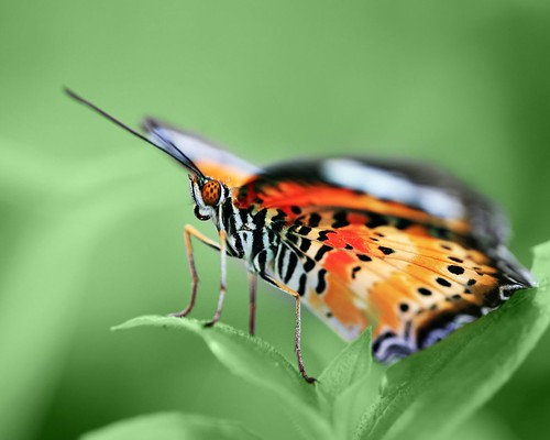 butterfly on a green background