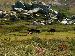 Chevaux et pozzines à l'extrémité du Pianu d'Urnucciu