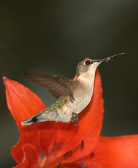 Ruby-throated Hummingbird (Female) (William  Dalton) Tags: flowers bird nature birds quality lilly hummingbirds soe rubythroatedhummingbird archilochuscolubris featheryfriday redflowersred shieldexcellence avianexcellence