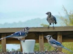 My first blue jay family portrait (Lollie Dot Com) Tags: blue bird jay bluejay bluejays lolliedotcompix 3bluejays bluejayparent juvenilebluejays bluejayfamilyportrait