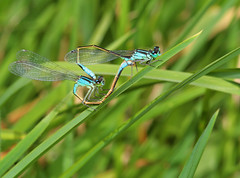 """Mating Blue-Tailed Damselflies (Ischnura elegans) • <a style=""""font-size:0.8em;"""" href=""""http://www.flickr.com/photos/57024565@N00/1102315279/"""" target=""""_blank"""">View on Flickr</a>"""