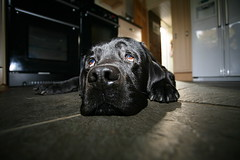 Hole in the floor (stocks photography) Tags: dog kitchen nose eyes labrador sad floor stuck please help fallen doggy 5bestdogs loveyou