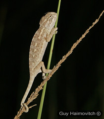Chameleon (Chamaeleo chameleon) זיקית מובהקת