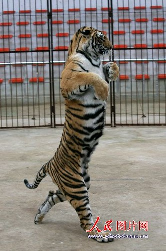 Tigress that walks