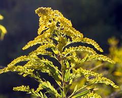 Goldenrod (Solidago canadensis)