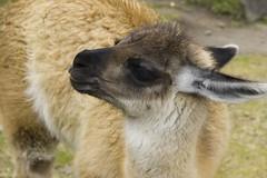 Machu Picchu: baby llama!