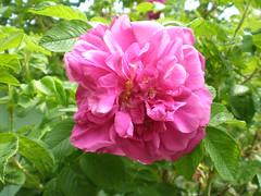 Rose (kazandrew) Tags: flower pinkrose closeuprose