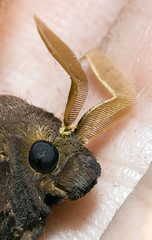 moth head and antennae