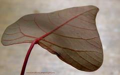 omalanthus populifolius... (YAZMDG (15,000 images)) Tags: trees plants de rainbow gaye omalanthus populifolius nswrfp northernriversspecies regionforesttreesleaveshinterlandyazyazmdgyazminamichele