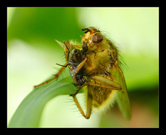 Wrestling Game (Moneycue) Tags: macro green nature yellow closeup canon bug insect fly prey dungfly canonmpe65