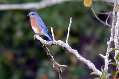 bluebird on branch