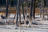 """Bobby sock"" trees of Yellowstone (WorldofArun) Tags: nature landscape nikon montana reserve biosphere september worldheritagesite planet vegetation yellowstonenationalpark environment yellowstone wyoming geyser bacteria geothermal thermal 2010 ecosystem 18200mm supervolcano thermalvent thermophilicbacteria d40x greateryellowstoneecosystem geothermalfeatures ecologicalzone worldofarun arunyenumula freeroamingwildlife"