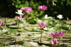 Water lily (ddsnet) Tags: plant flower waterlily sony aquatic  aquaticplants 900       lily water  tetragona water   900 lily nymphaeatetragona    nymphaea plants aquatic nymphaea tetragona plantsnymphaea tetragona