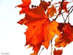 Leaf (Nora'95) Tags: autumn red orange tree fall nature leaves canon leaf grizzled hoar enviroment hoary naturaly