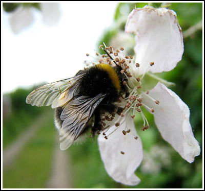 bumble bee on blackberry flower copy