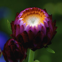 Strawflower (shinichiro*) Tags: flower macro japan nikon order getty d200 crazyshin soe 2007 excellence aroundhome naturesfinest 105mmmicro abigfave anawesomeshot diamondclassphotographer ishflickr exp004148views18fave6g eifphalloffame gettyselect order500 order20101106