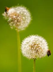 Summer Seeds (estenh) Tags: summer plants green minimal seeds dandelions minimalsim 70200f4l