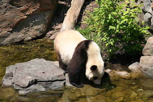baby zoo smithsonian panda nationalzoo