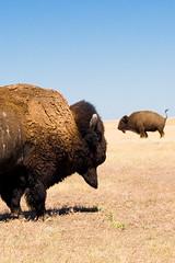 Need some Ex-Lax Charlie? (Mr. Gee) Tags: 20d strange field southdakota canon weird buffalo funny tail bluesky badlands prairie plains bison grunt constipated stuckup