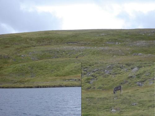 Reindeer by Loch nan Cnapan