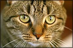 Millie (beccafromportland) Tags: cat eyes explore millie blueribbonwinner naturesgallery bestofcats impressedbeauty theunforgetablepictures boc0807